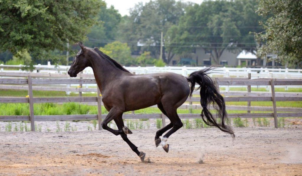 dark brown American Saddlebred galloping outside