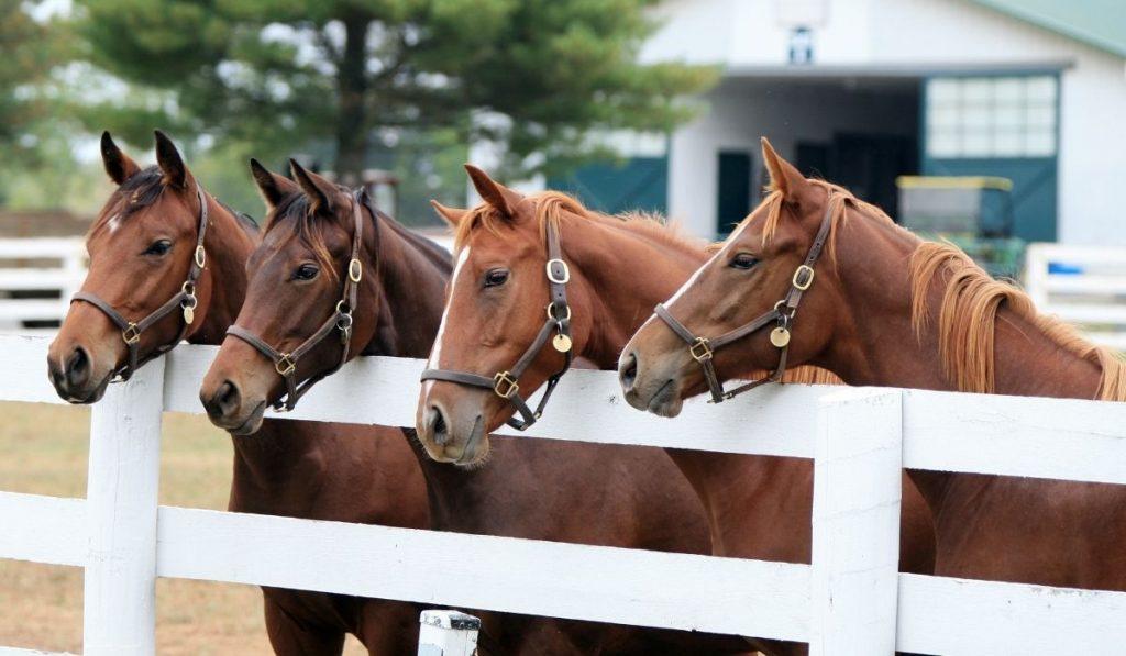 four Thoroughbred racehorses inside the horse farm