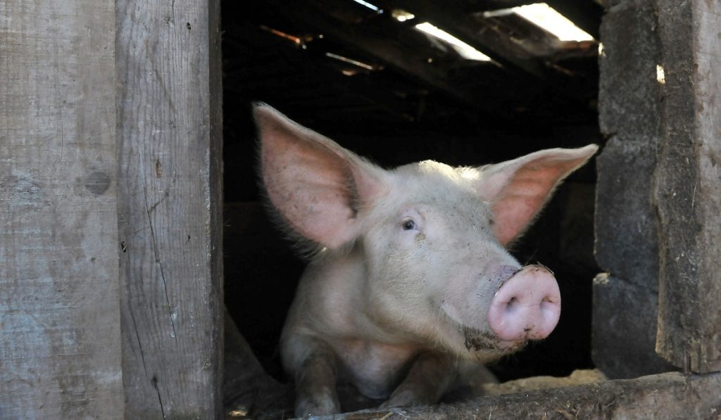 porco bisaro pig at the window of its pen