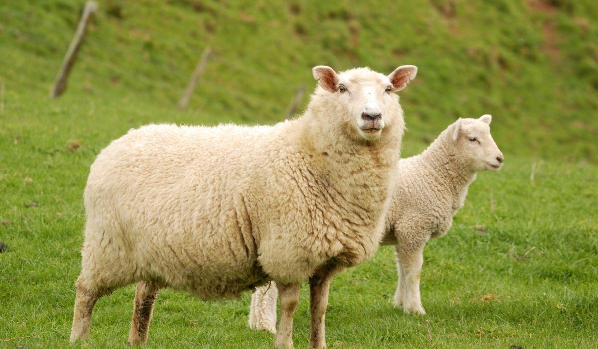 sheep-and-lamb