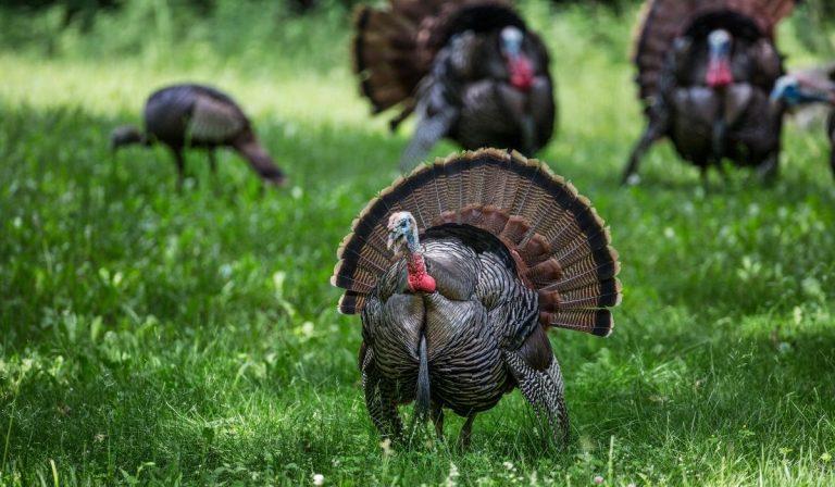 7 Heirloom Turkey Breeds