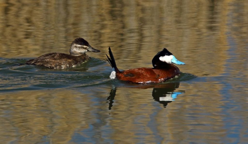 two-ducks-swimming-in-the-water