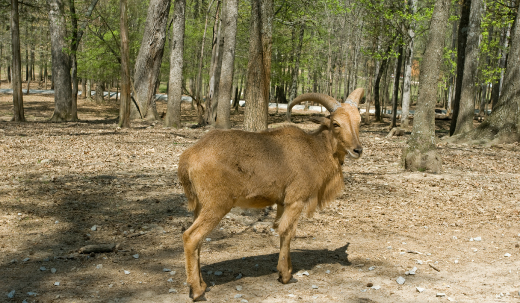 Brown sheep standing in sideview in the forest.