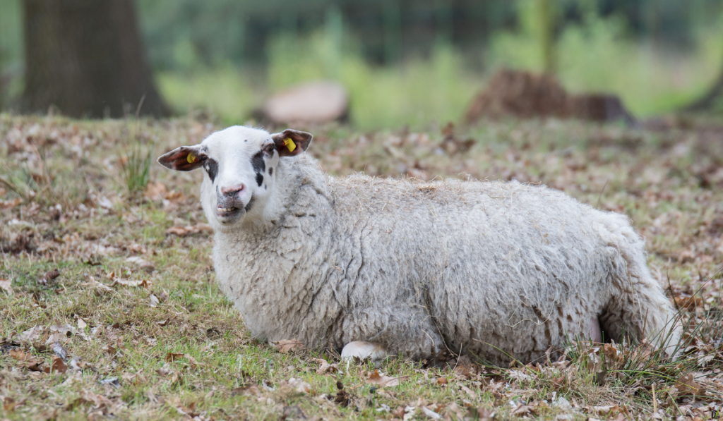 Sheep laying down on the ground.