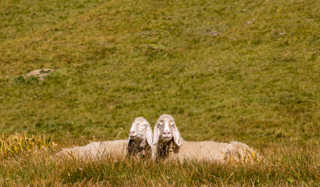 Two sheep sitting in the meadows