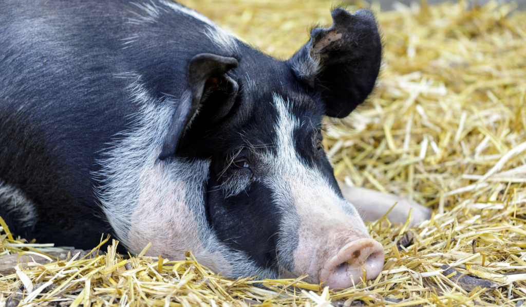 Pig laying on the ground with hay straw.