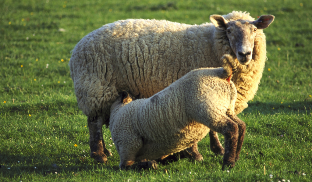 Closeup photo of sheep standing in the field while the lam is drinking milk.