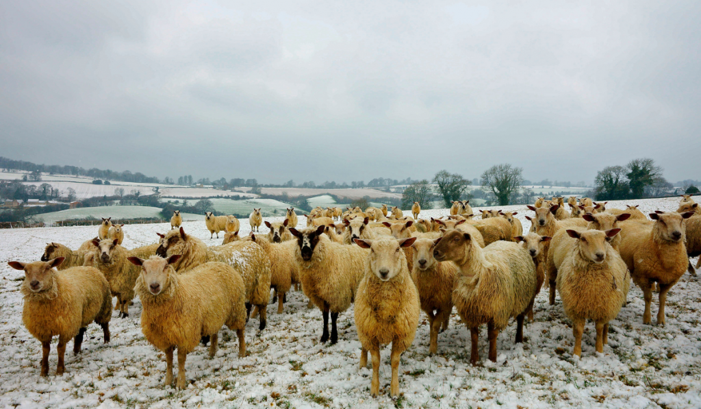 Herd of sheep standing on the field with snow.