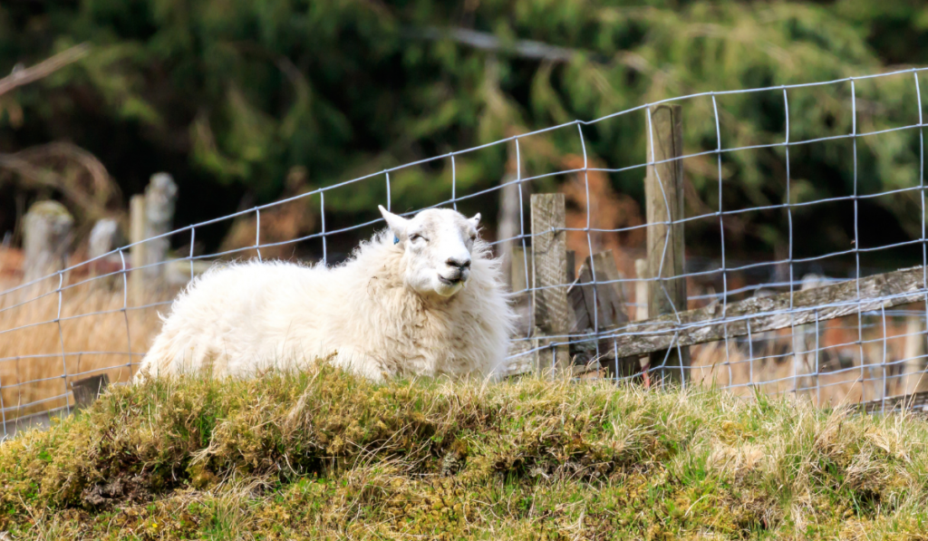 White sheep resting on the grass inside the pen.
