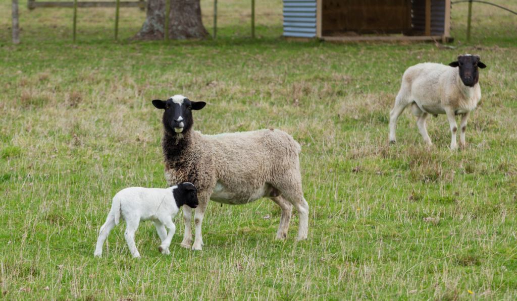 Family of sheep in the field.