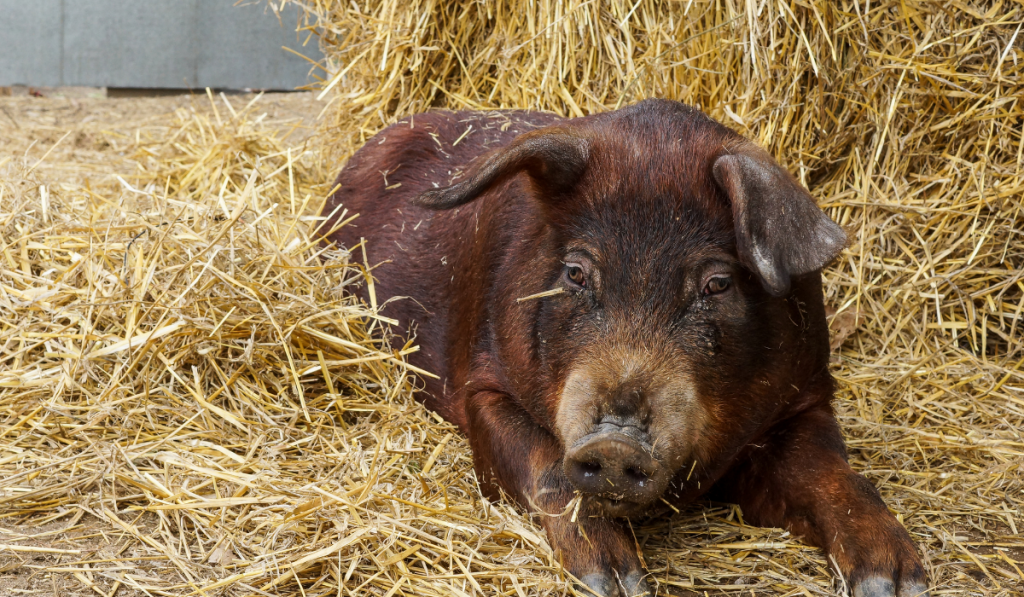 Brown pig laying on the ground with hay straw.