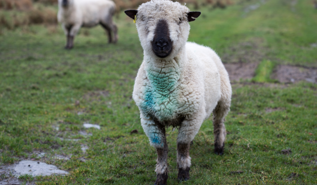 Cute white sheep standing in the field with blue and green paint on its chest.