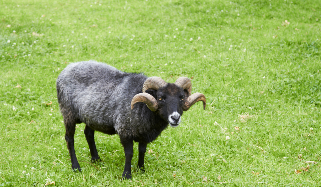Black sheep looking at the camera in the field.