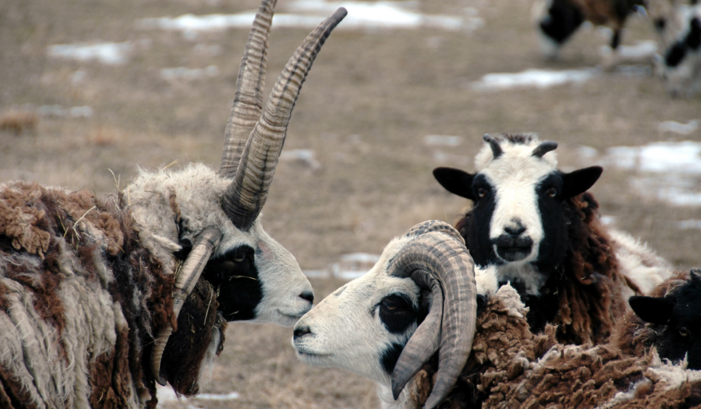Three sheep standing in the field with brown, black and white coating.