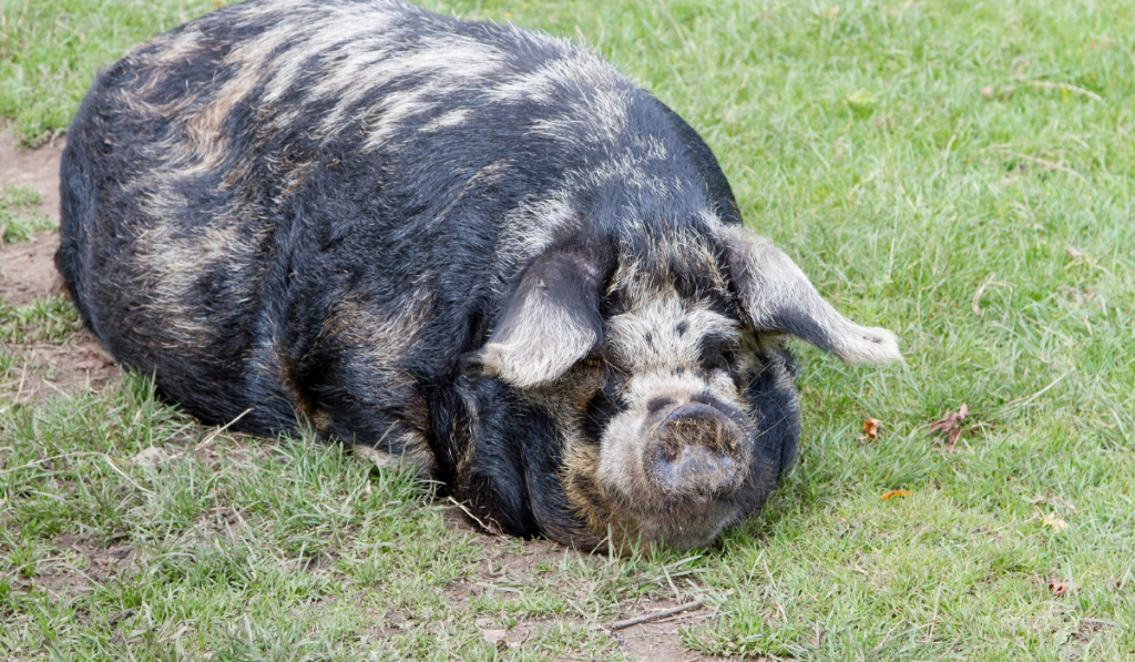 Pig laying on the grass.