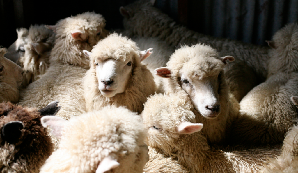 Herd of sheep resting inside the shed.
