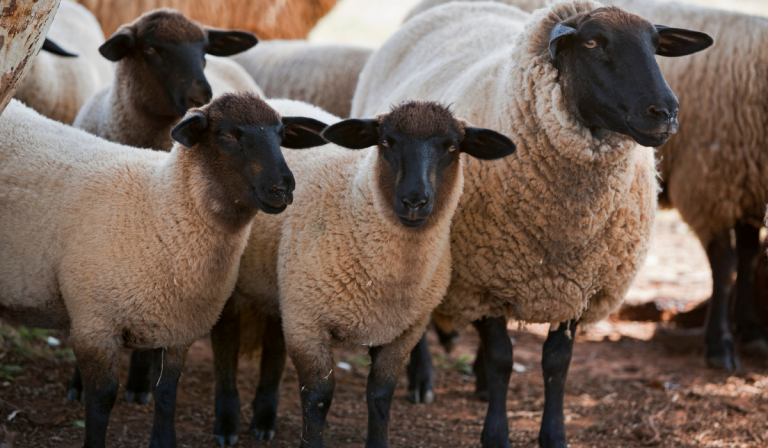 15 Types of Sheep That Are Good to Eat