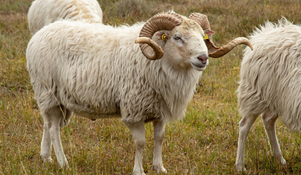 White sheep with beautiful horn in the field.