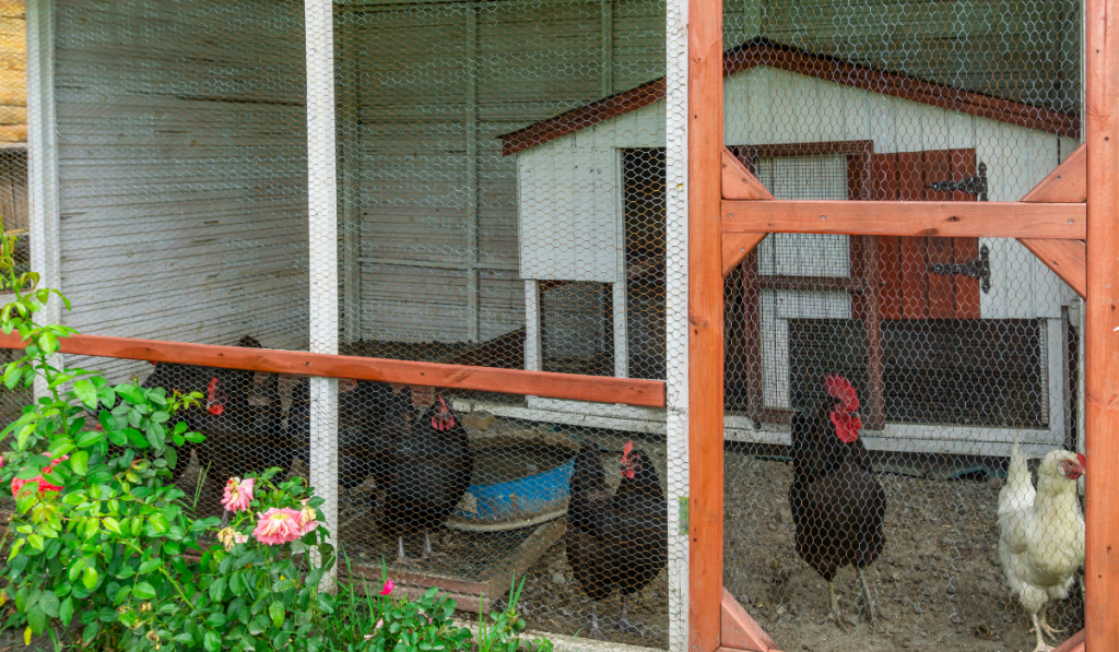 Chickens inside their cage
