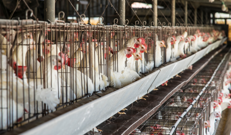 7 Ways Dirty Coops Affect Chickens