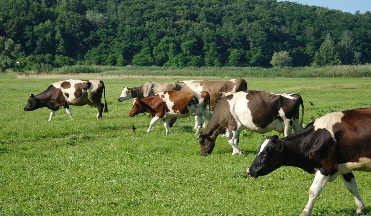 cows roaming freely in a field