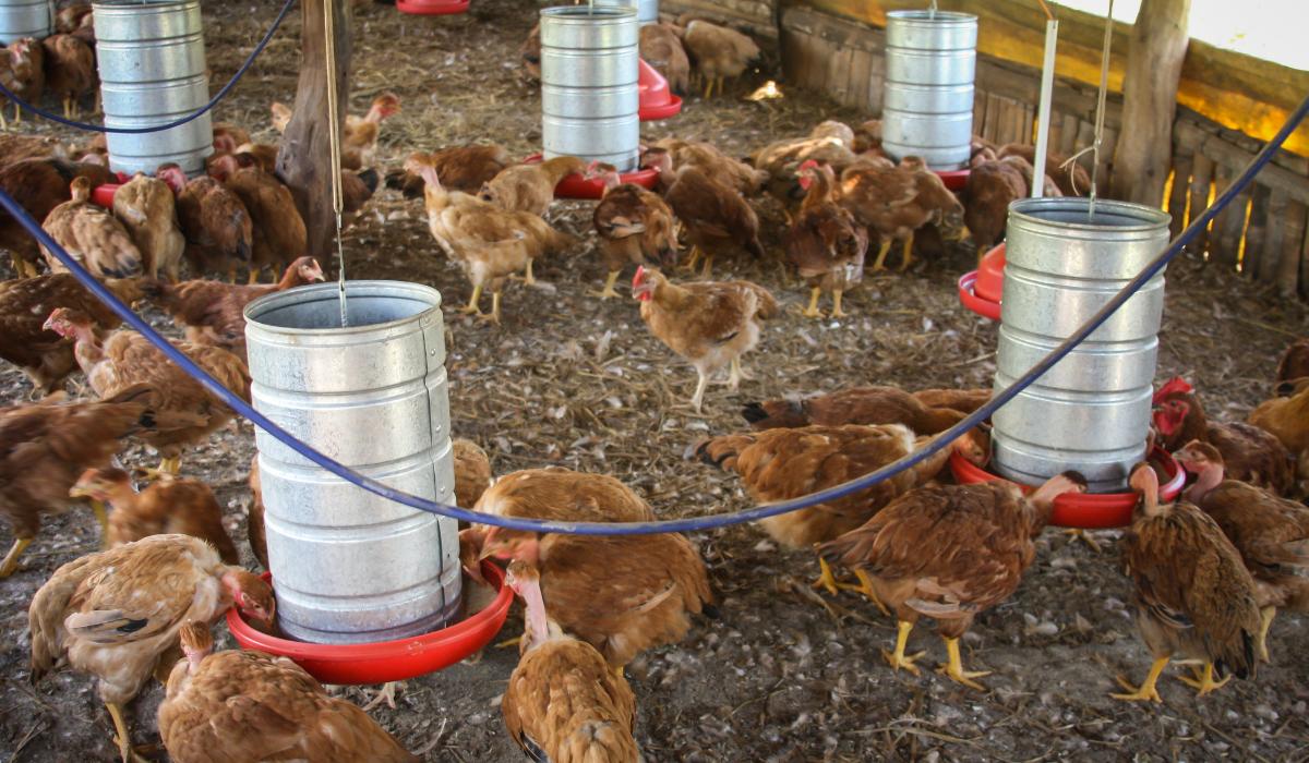 feeding-chicken