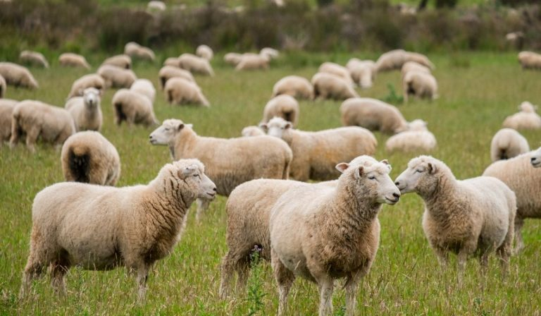 Ultimate Guide To Raising Sheep