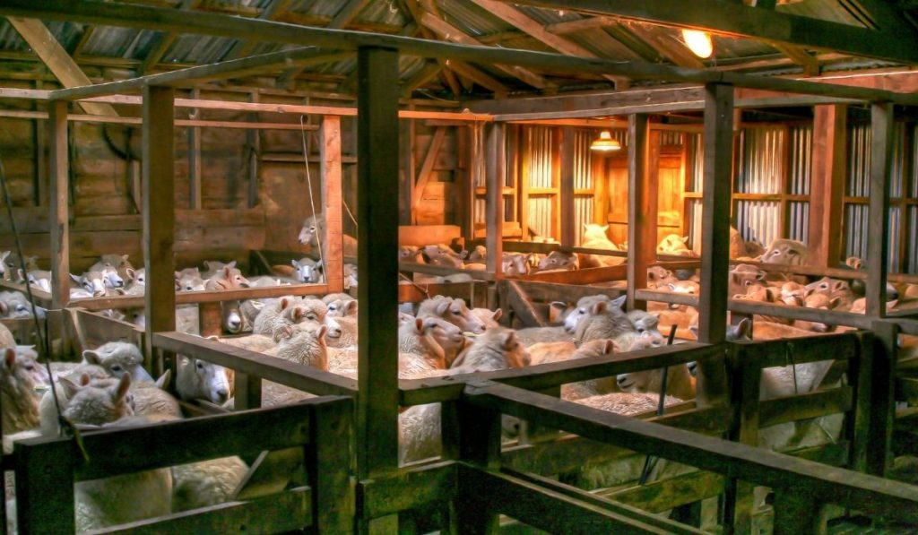 hundreds of sheep in the house farm