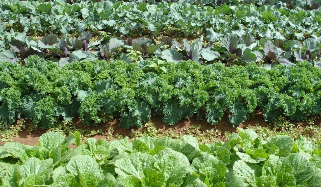 kale and cabbage in the garden ready to harvest