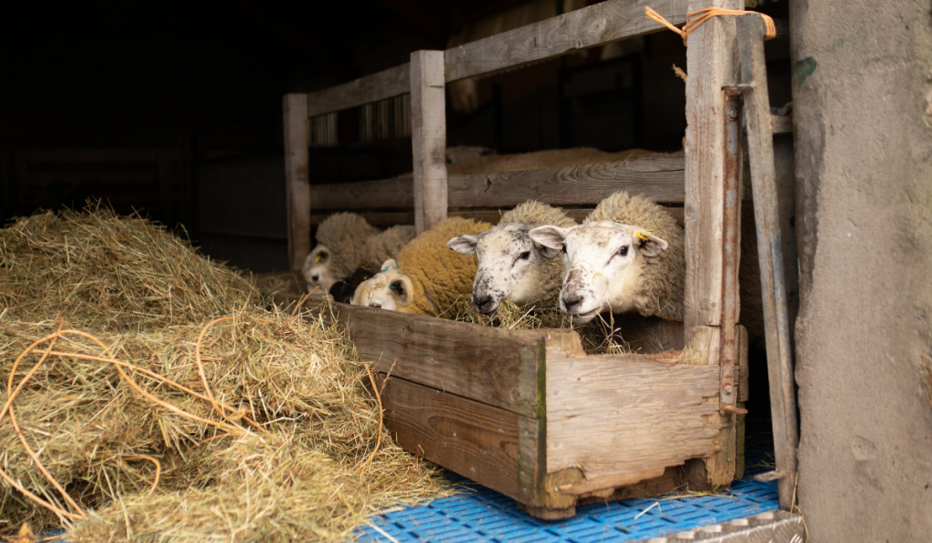 Sheep eating together inside the barn