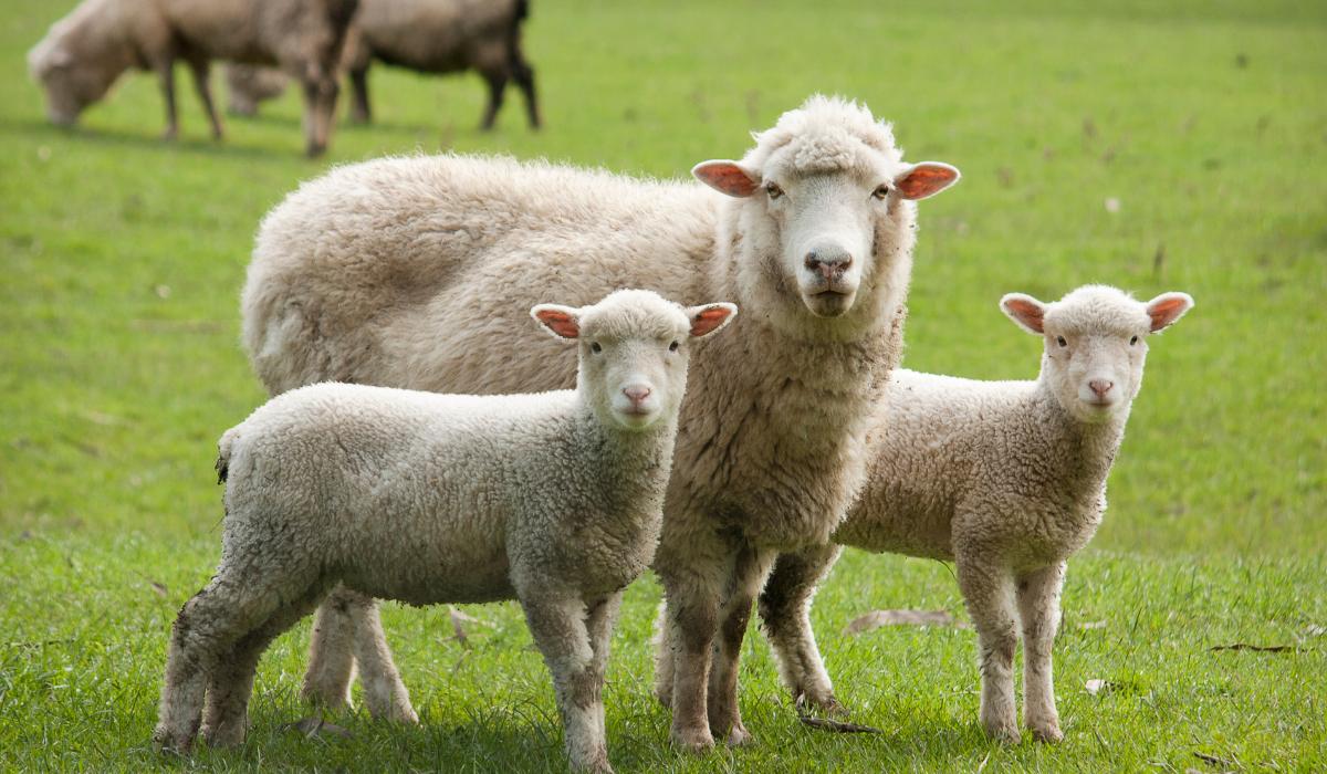 sheep-with-lamb