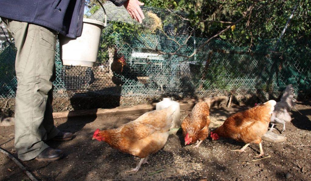 man feeding chickens