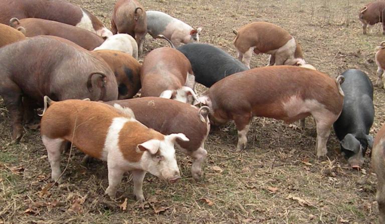 11 Best Pig Breeds for Beginners