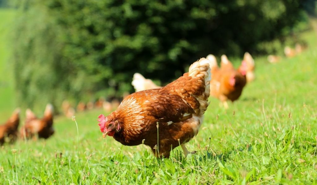 chicken eating grass