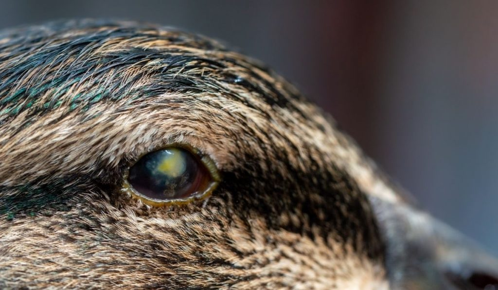 duck with eye infection