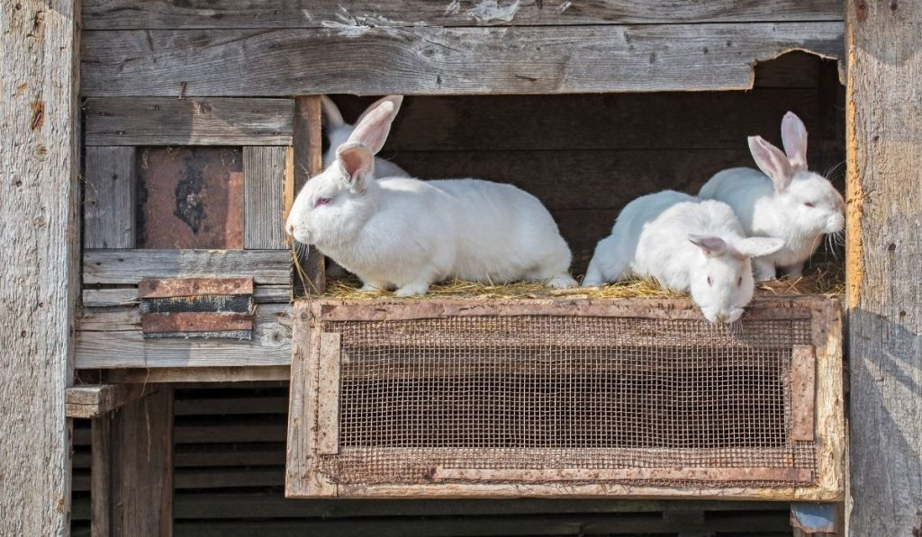 rabbits peeking from their open wooden cage