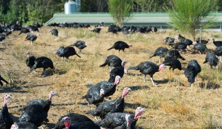 Ultimate Guide To Raising Turkeys