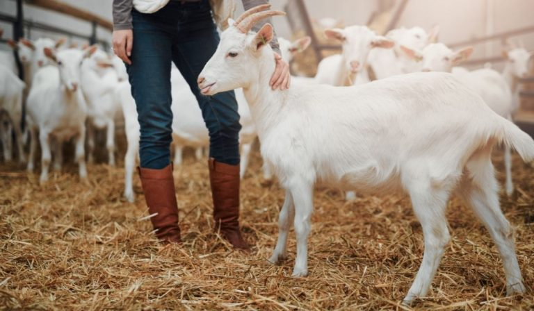 Ultimate Guide To Raising Goats